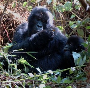 "Rwandan mama gorilla giving her baby gorilla that ""motherly"" look."